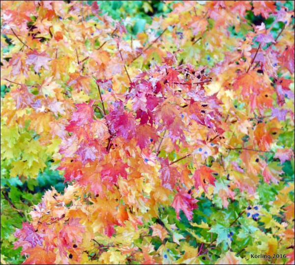 28 september 2016. Den röda hösten. Den vackra tiden.